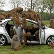 Baboons Attack Hyundai I30 to Prove Resilience