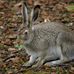 California - Jackrabbits